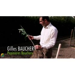 La plantation à racines nues